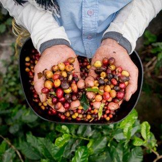 Coffee Mania, Café Arabica et Robusta: les 10 différences